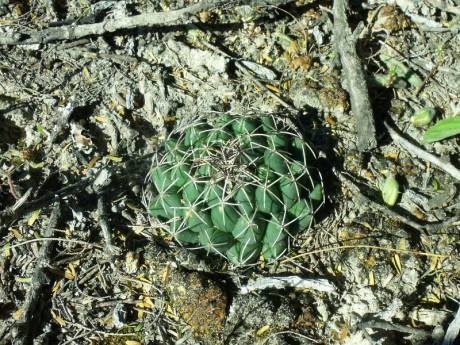 PT 38 Coryphantha maiz-tablasensis, San Francisco
