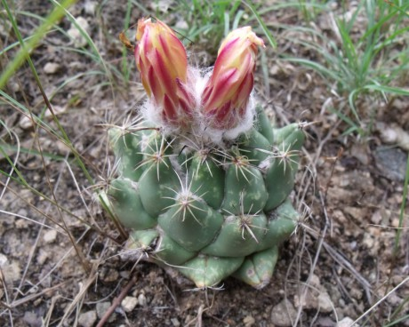 Coryphantha calipanensis, Calipan, VER